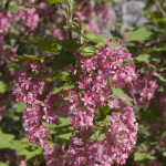 Lilac in blossom